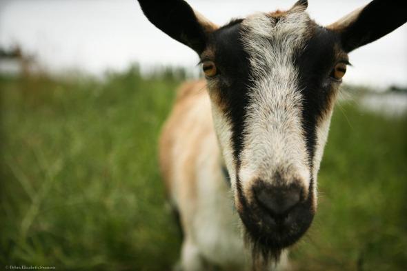 Goat, Midori Farm, 2011