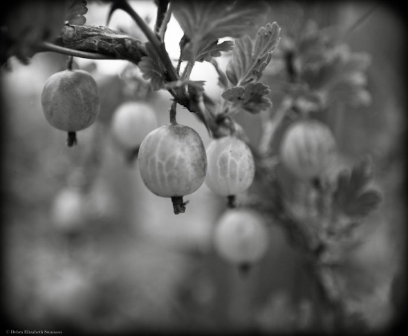 Gooseberries, Mystery Bay Farm
