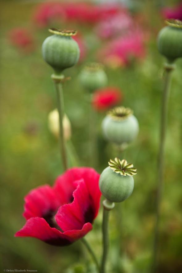 Poppies, Midori Farm